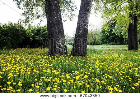 Trees Surrounded By Blooming Yellow Dandelions