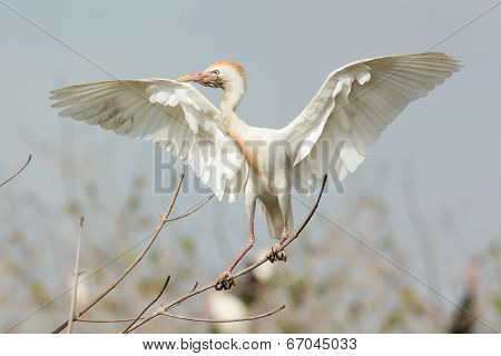 A Scruffy Cattle Egret (bubulcus Ibis) Perched Imperiously On A Mangrove Branch