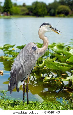 Portrait of great blue heron, Ardea herodias