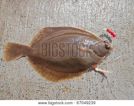 Common Dab - Flatfish