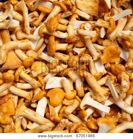 Fresh chanterelle mushrooms close up background