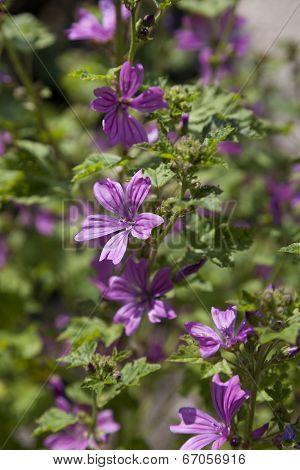 Pink flowering malva sylvestris