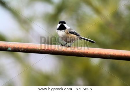 Chickadee Black capped