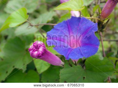 Purple Convolvulus