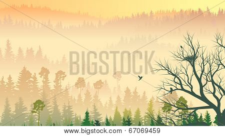 Wild Coniferous Wood In Morning Fog.