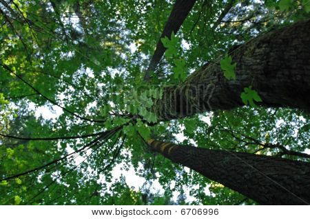 Looking up at tree canopy