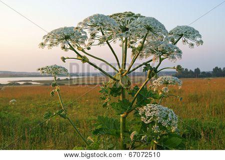 Giant Hogweed