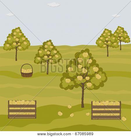 Orchard Apple Trees