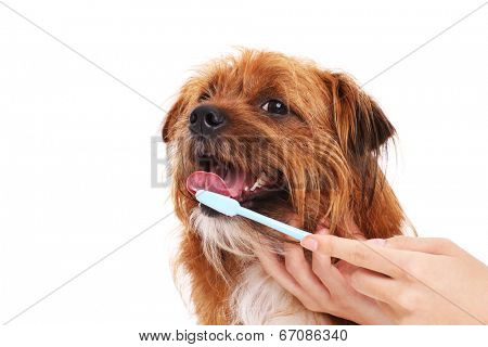 A picture of a happy dog having his teeth brushed over white background