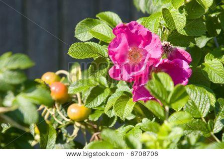 Rosa Rugosa In Bloom