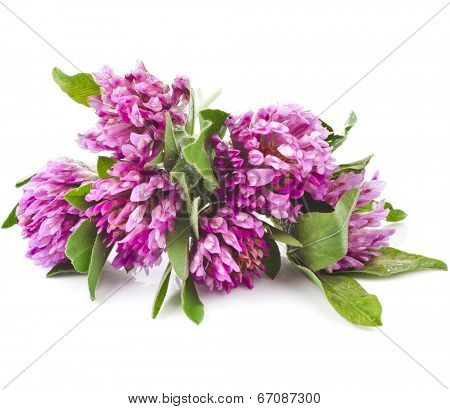 Red clover flower  (Trifolium pratense) isolated on white background