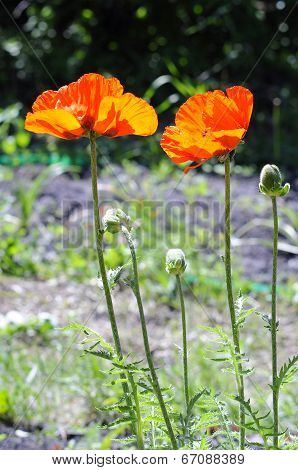 Beautiful Red Poppies In A Garden.