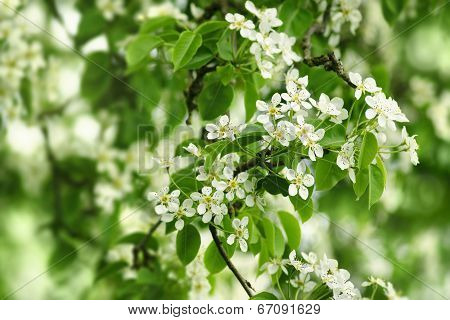 White pear flowers.
