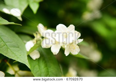 Beautiful jasmine flowers close-up