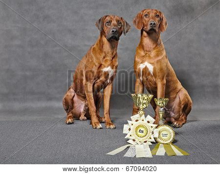 Rhodesian ridgebacks with prizes