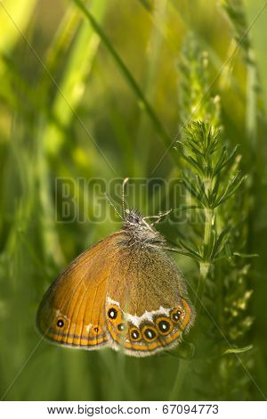 The Large Heath, Coenonympha tullia