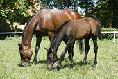 stock photo of mare foal  - Thoroughbred mare and foal in pasture following mother - JPG