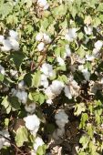 image of pima  - a mature cotton field before defoliation and harvest - JPG