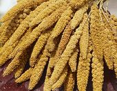 stock photo of aborigines  - The crops of millet for aborigines in Taiwan - JPG