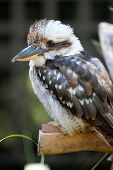 stock photo of blue winged kookaburra  - A close up shot of an Australian Kookaburra - JPG