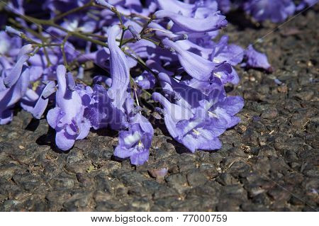 Macro Of Small Purple Jacaranda Flowers Lying On Tar Road