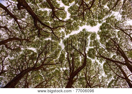 View up at the crowns of trees in an old wood