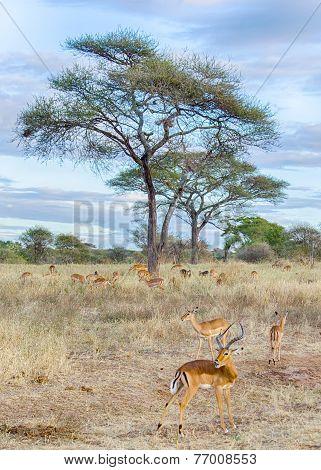 Herd Of Gazelles, Tarangire National Park, Tanzania, Africa.