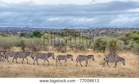 Zebras, Tarangire National Park, Tanzania, Africa