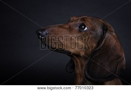 dog breed Dachshund smooth-haired miniature on a black background
