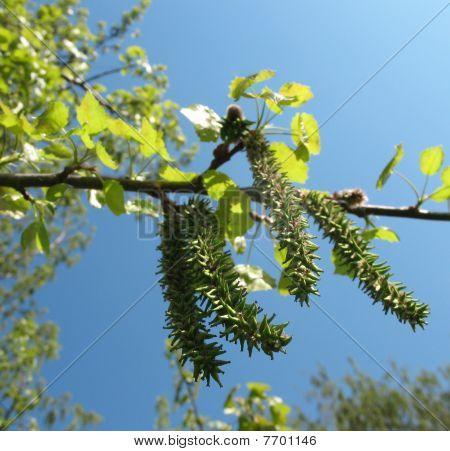 Flowering aspen pine or poplar trembling (Populus tremula)