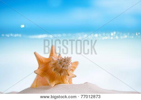 cuban shell on white Florida beach sand under sun light, shallow dof