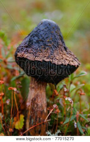 Dead mushroom