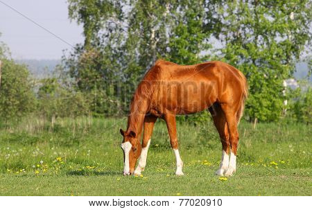 Chestnut Golden Horse