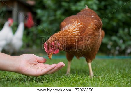 Hand feeds the chicken