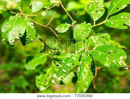 Harmful Insects Of A Garden Destroy Leaves