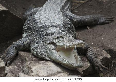 hungry crocodile