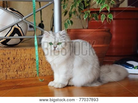 White Cat Sitting In The Room, Looking At The Camera