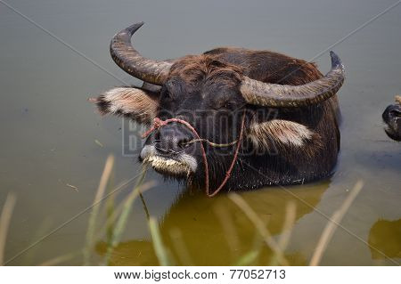 Buffalo bathing in the river