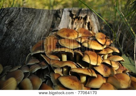 Mushrooms In The Forest. Mushrooming. Autumn. Edible And Poisonous Mushrooms. The Fruiting Bodies Pr
