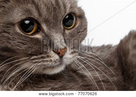 closeup gray cat with big round eyes