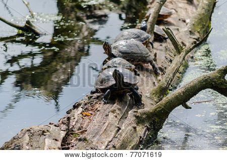 Yellow-bellied Turtle Jewelry