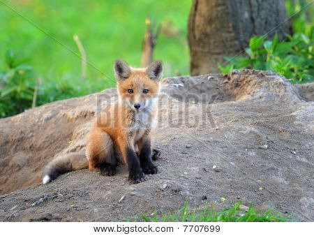 Kit Fox in the Wild