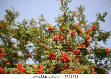 Ashberry With Leafs