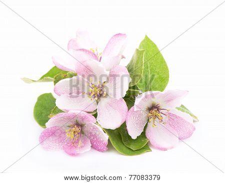 apple flowers branch