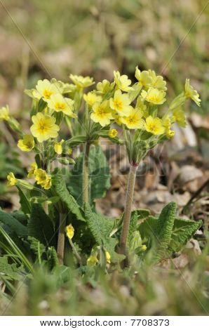 False Oxlip - Primula x polyantha