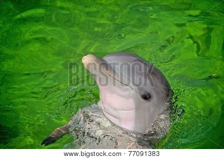 Bottle Nosed Dolphin
