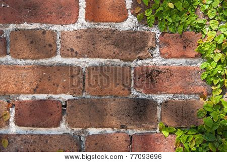 Brick Wall And Clinging Vine