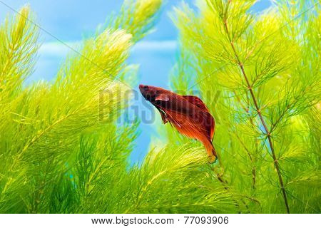 Aquarium Cockerel Fish