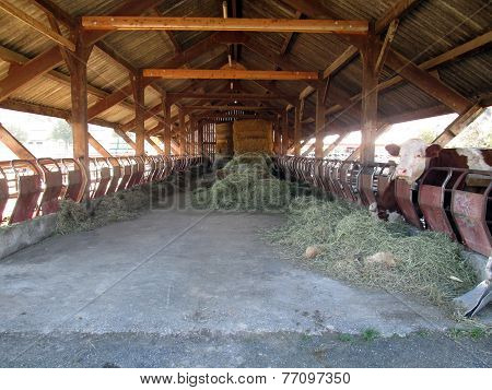 Inside Of Barn House And Cow