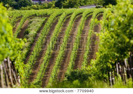 vineyards in Southern Moravia in Czech Republic